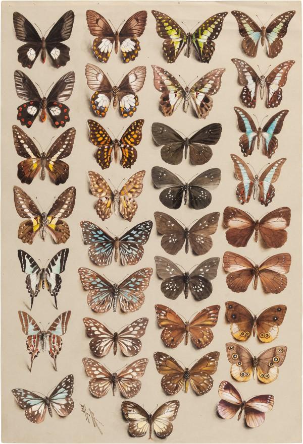 View full screen - View 1 of Lot 11. Marian Ellis Rowan, 1848-1922 | Two Studies of Butterflies - New Guinea & Australia.