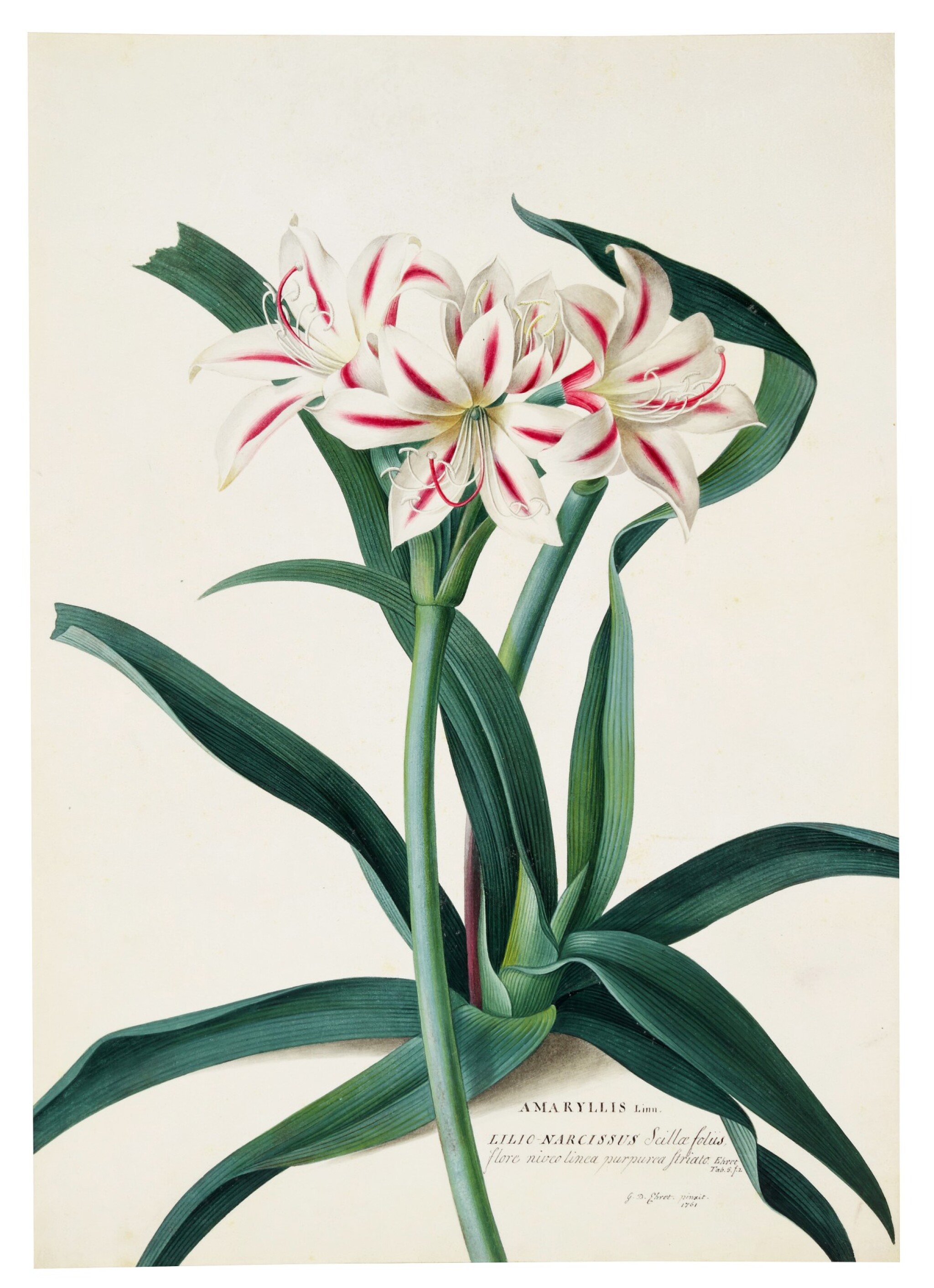 View full screen - View 1 of Lot 59. The Amaryllis.