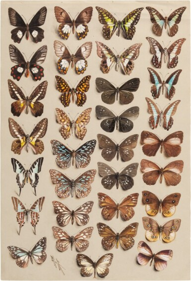 View 1. Thumbnail of Lot 11. Marian Ellis Rowan, 1848-1922 | Two Studies of Butterflies - New Guinea & Australia.