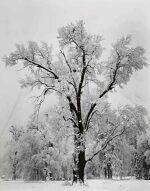 'Oak Tree, Snowstorm, Yosemite National Park, California'