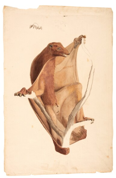 View 1. Thumbnail of Lot 1. Jean-Baptiste Audebert | Original drawing of flying lemur, late 18th century.