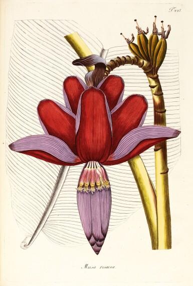 View 1. Thumbnail of Lot 21. Jacquin   Plantarum rariorum Horti Caesarei Schönbrunnensis descriptiones et icones. 1797–1804, 4 volumes.