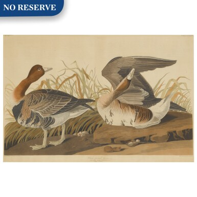 White Fronted Goose (Plate CCLXXXVI)
