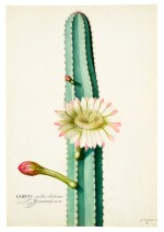 The South American 'Candle' Cactus