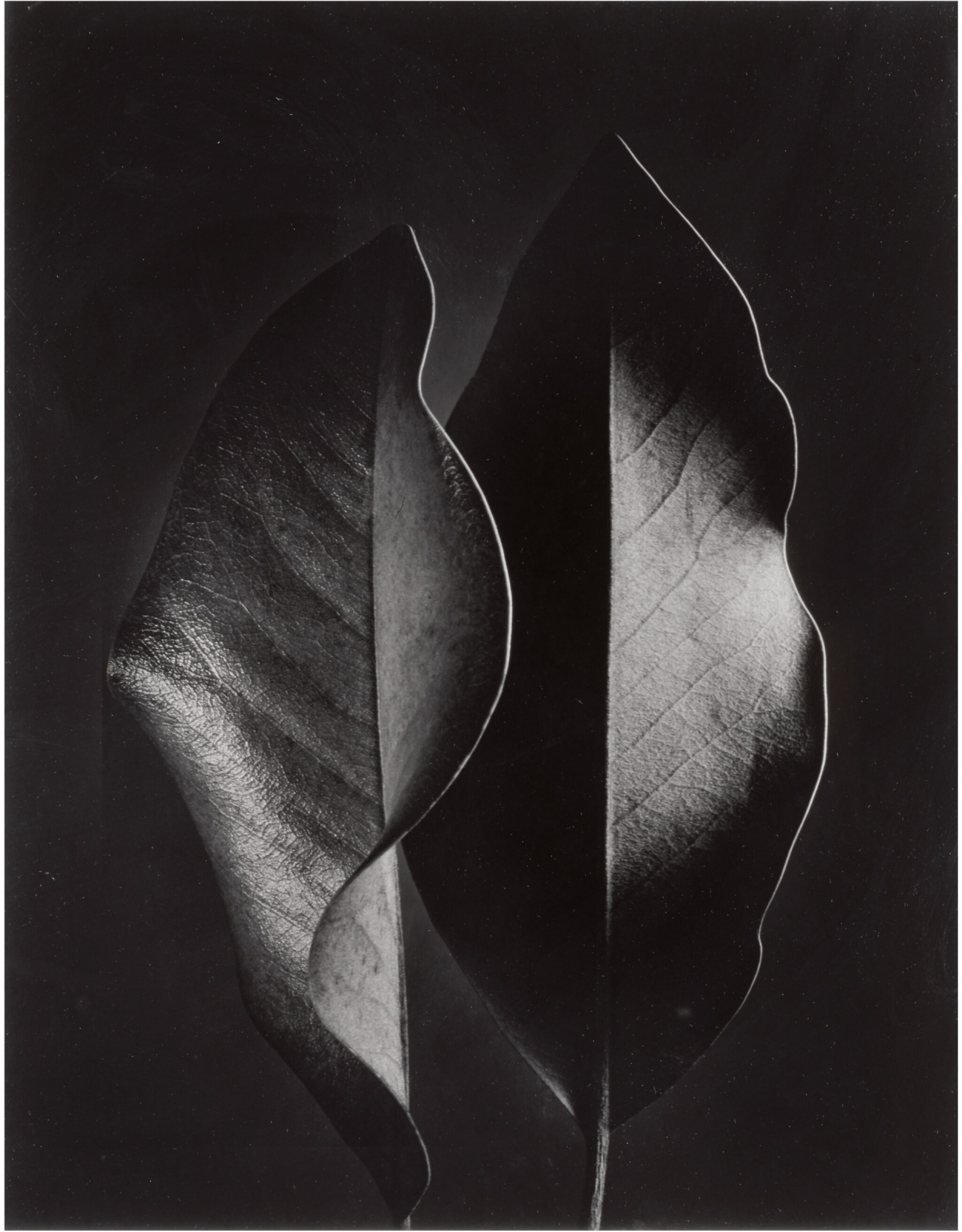 View full screen - View 1 of Lot 52. RUTH BERNHARD   'TWO LEAVES'.
