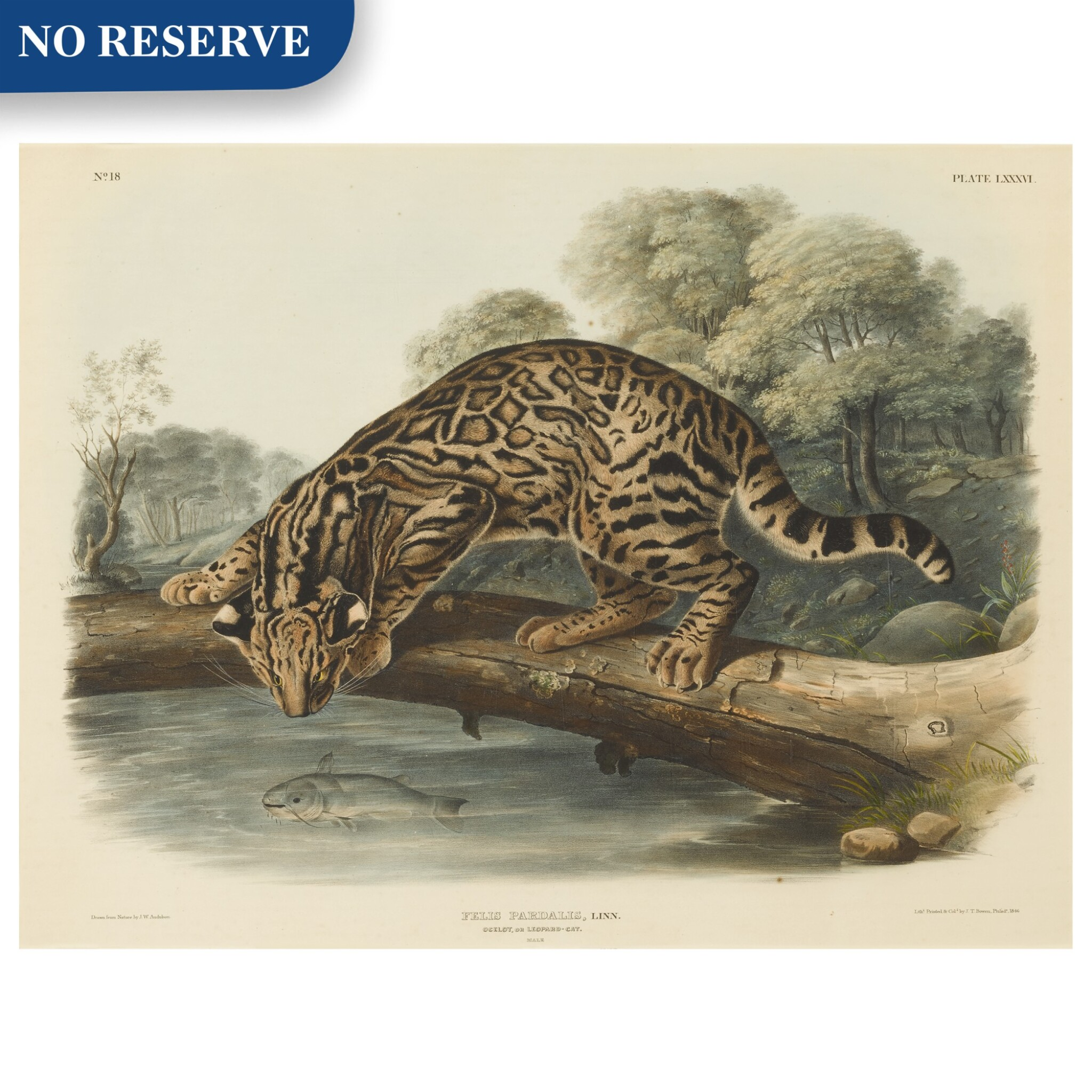 View full screen - View 1 of Lot 495. Ocelot, or Leopard-Cat. Male (Plate LXXXVI).