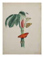 HELICONIINAE ON BAMBOO SHOOT | CECROPIA AND COCOON