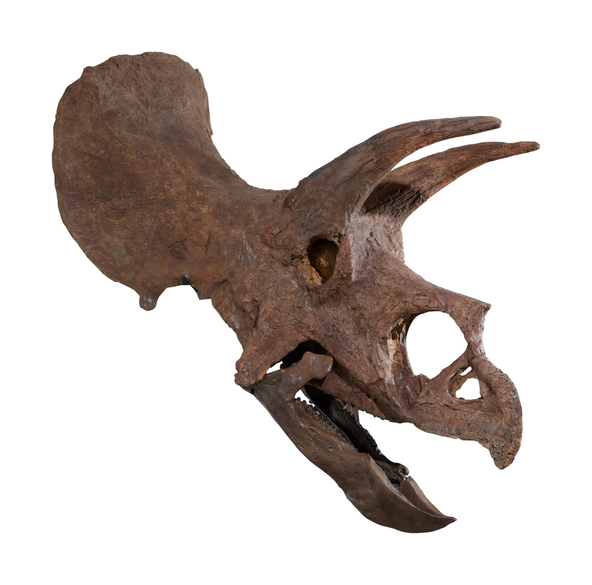 View full screen - View 1 of Lot 1. An Exceptional, Very Complete Triceratops Skull.