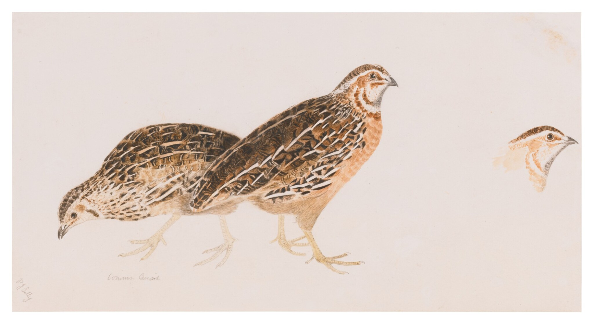 View full screen - View 1 of Lot 149. Sold Without Reserve   PRIDEAUX JOHN SELBY   COMMON QUAIL, ONE MALE, TWO FEMALE.
