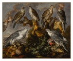 A group of seven Lanner and Peregrine or Gyrfalcons