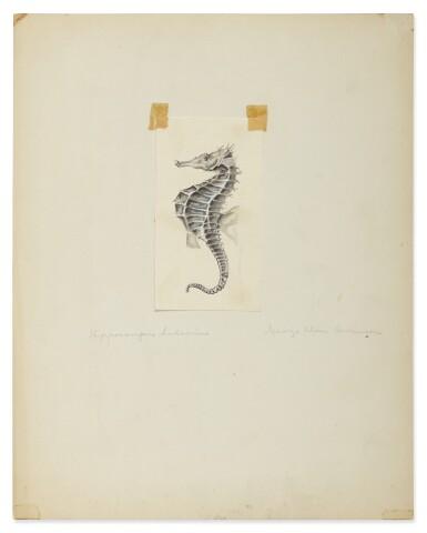 HIPPOCAMPUS HUDSONIUS (NORTHERN SEAHORSE)