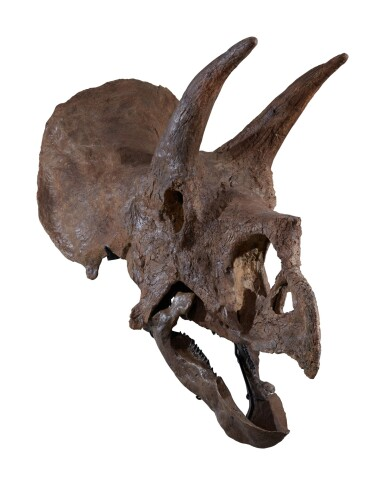 View 4. Thumbnail of Lot 1. An Exceptional, Very Complete Triceratops Skull.
