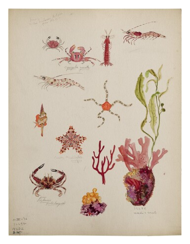 FOUR WORKS: VARIOUS SPECIES OF BRISTLE STARS, PTEROPODS, COPEPODS AND OTHER CRUSTACEANS