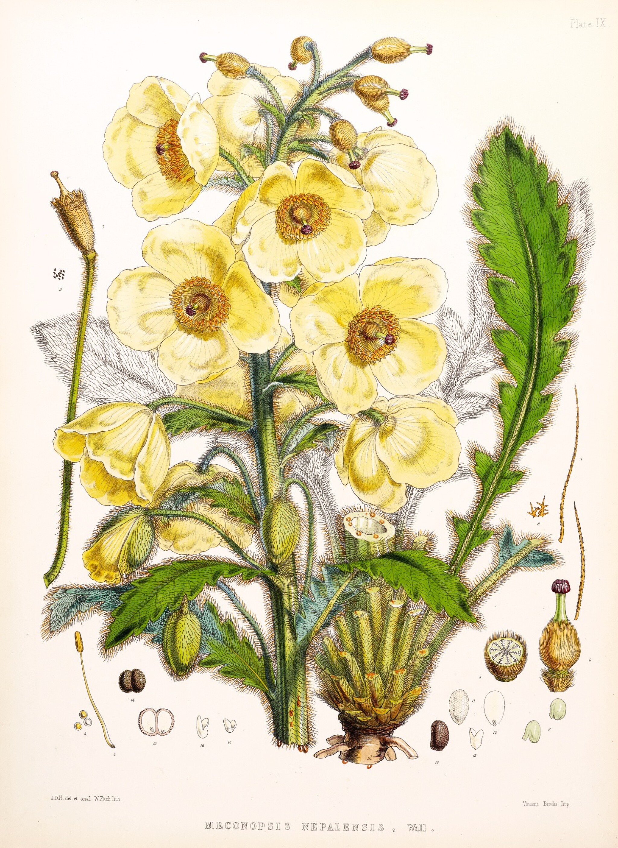 View full screen - View 1 of Lot 334. Hooker. Illustrations of Himalayan Plants. 1855.