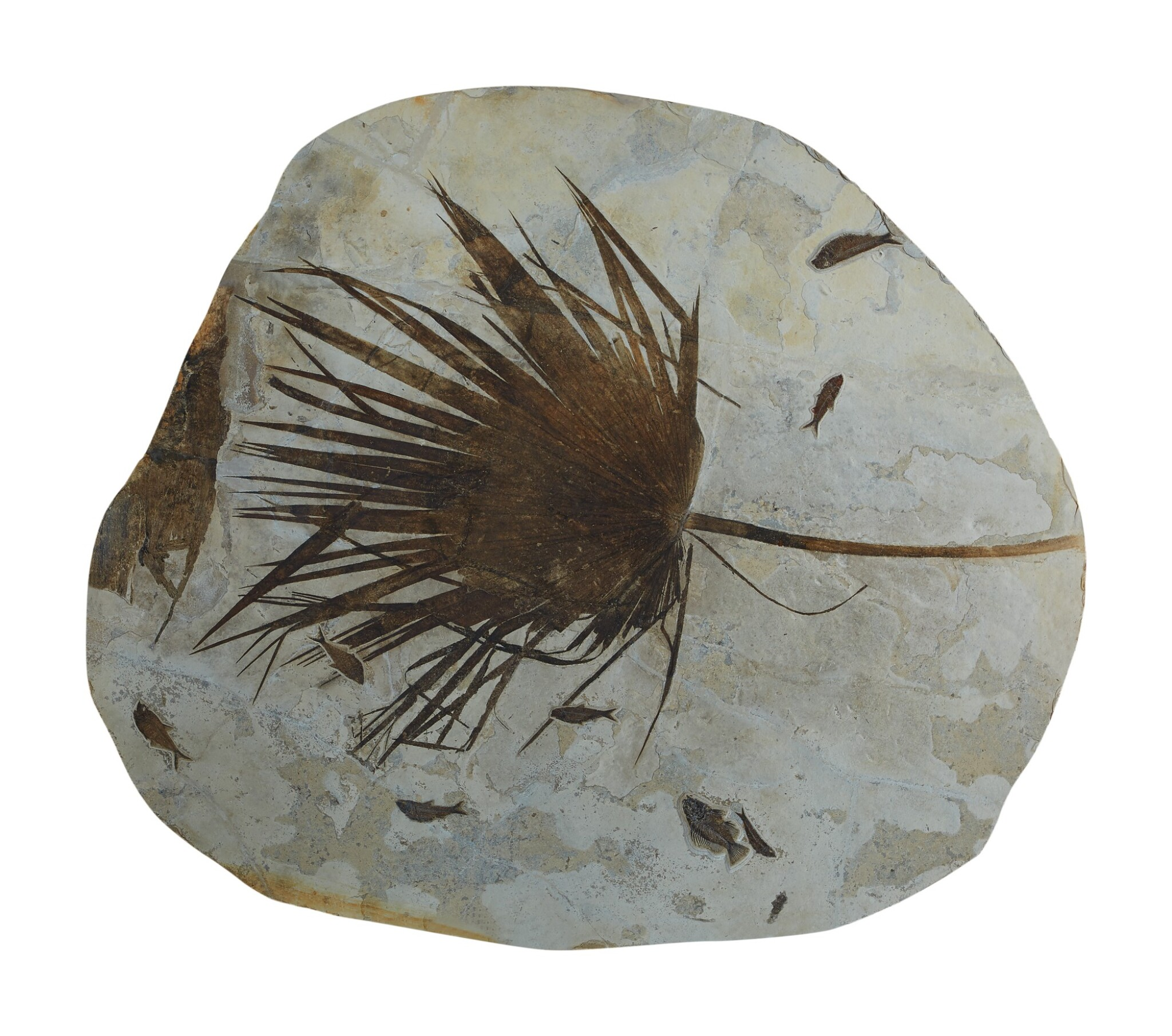 A FOSSIL PALM FROND WITH FISH