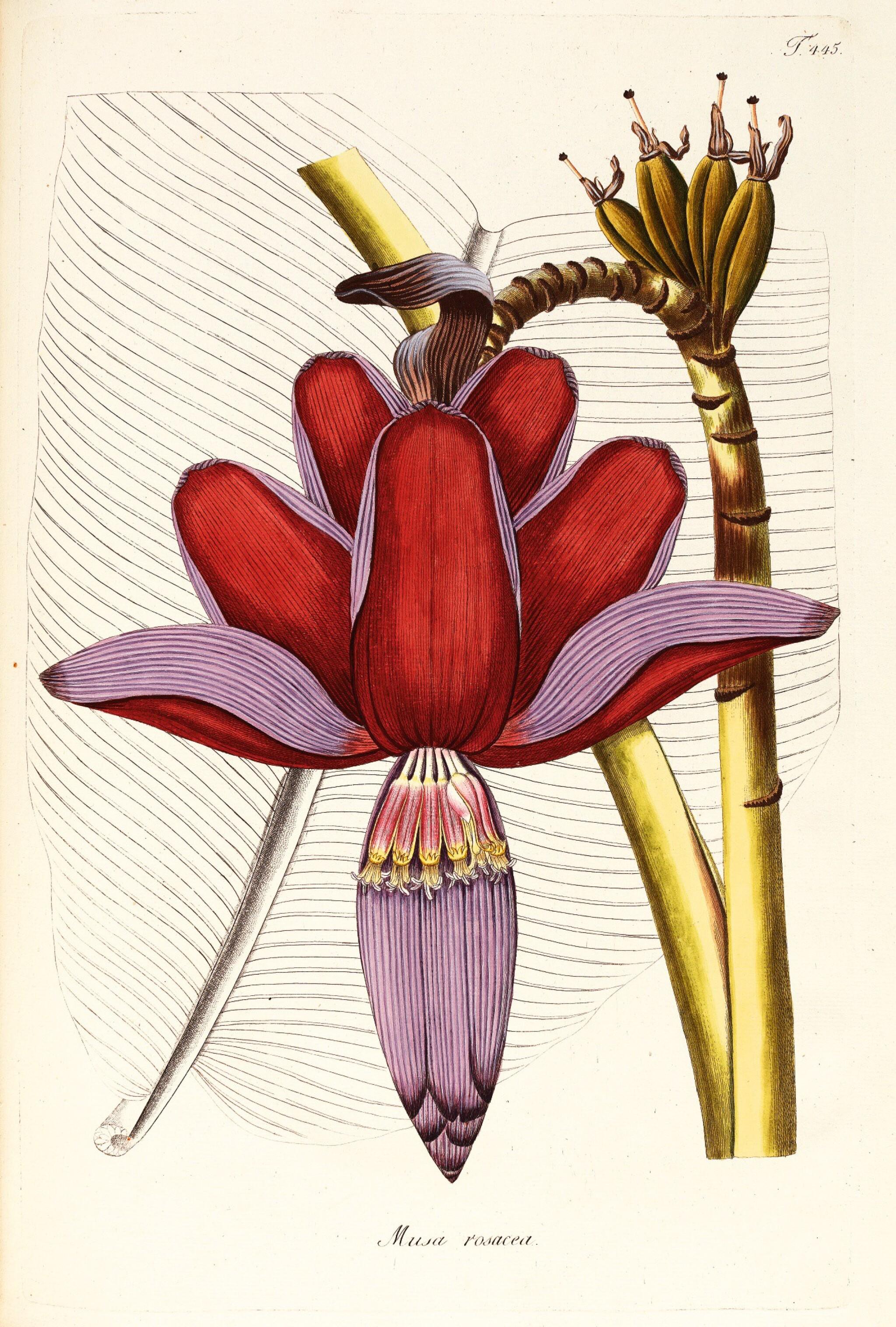 View full screen - View 1 of Lot 21. Jacquin   Plantarum rariorum Horti Caesarei Schönbrunnensis descriptiones et icones. 1797–1804, 4 volumes.