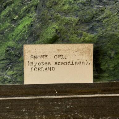 View 4. Thumbnail of Lot 20. Rowland Ward, London, 1857-1975 | Snowy Owl.