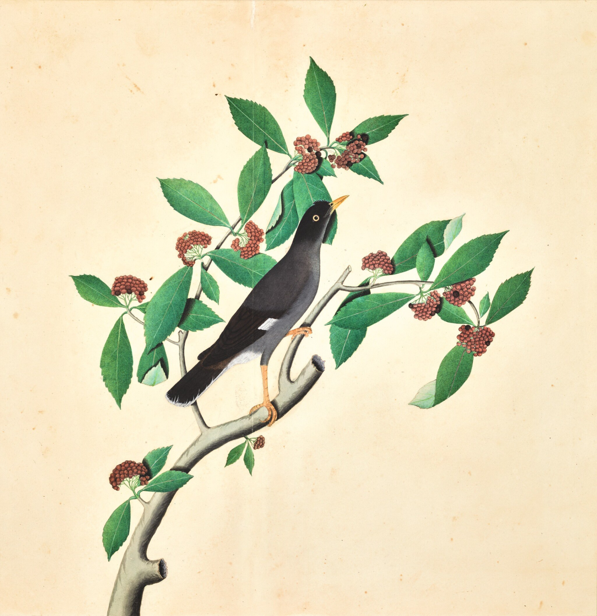 View full screen - View 1 of Lot 204. A JUNGLE MYNA (ACRIDOTHERES FUSCUS) ON A FRUITING BRANCH, WITH SIGNATURE OF ZAYN AL-DIN, FROM THE LADY IMPEY SERIES, COMPANY SCHOOL, CALCUTTA, WITH DATE 1778.