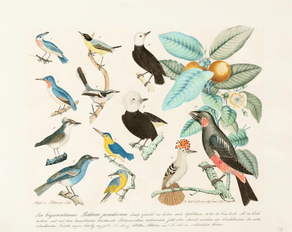 ALOYS ZÖTL | STUDY OF BIRDS AND GUAVA