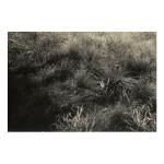 ALFRED STIEGLITZ  |  GRASSES