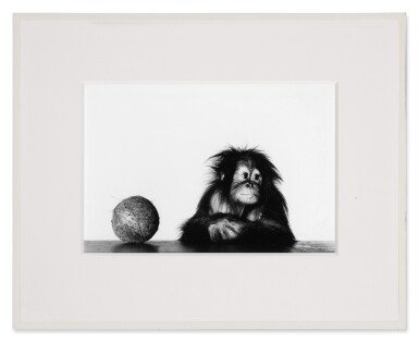 View 2. Thumbnail of Lot 12. 'Young Orangutan and Coconut (New York, Oct 12, 2004)'.