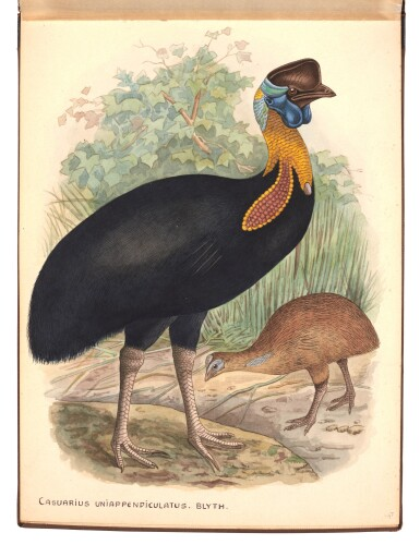 View 1. Thumbnail of Lot 29. Lionel Rothschild and John Keulemans | Album of drawings of cassowaries, together with their printed book on the subject.