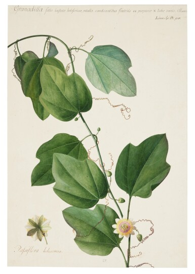View 1. Thumbnail of Lot 60. The Passion Flower.