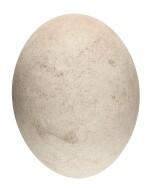 An intact and complete elephant bird egg. [Madagascar, 17th century or earlier]