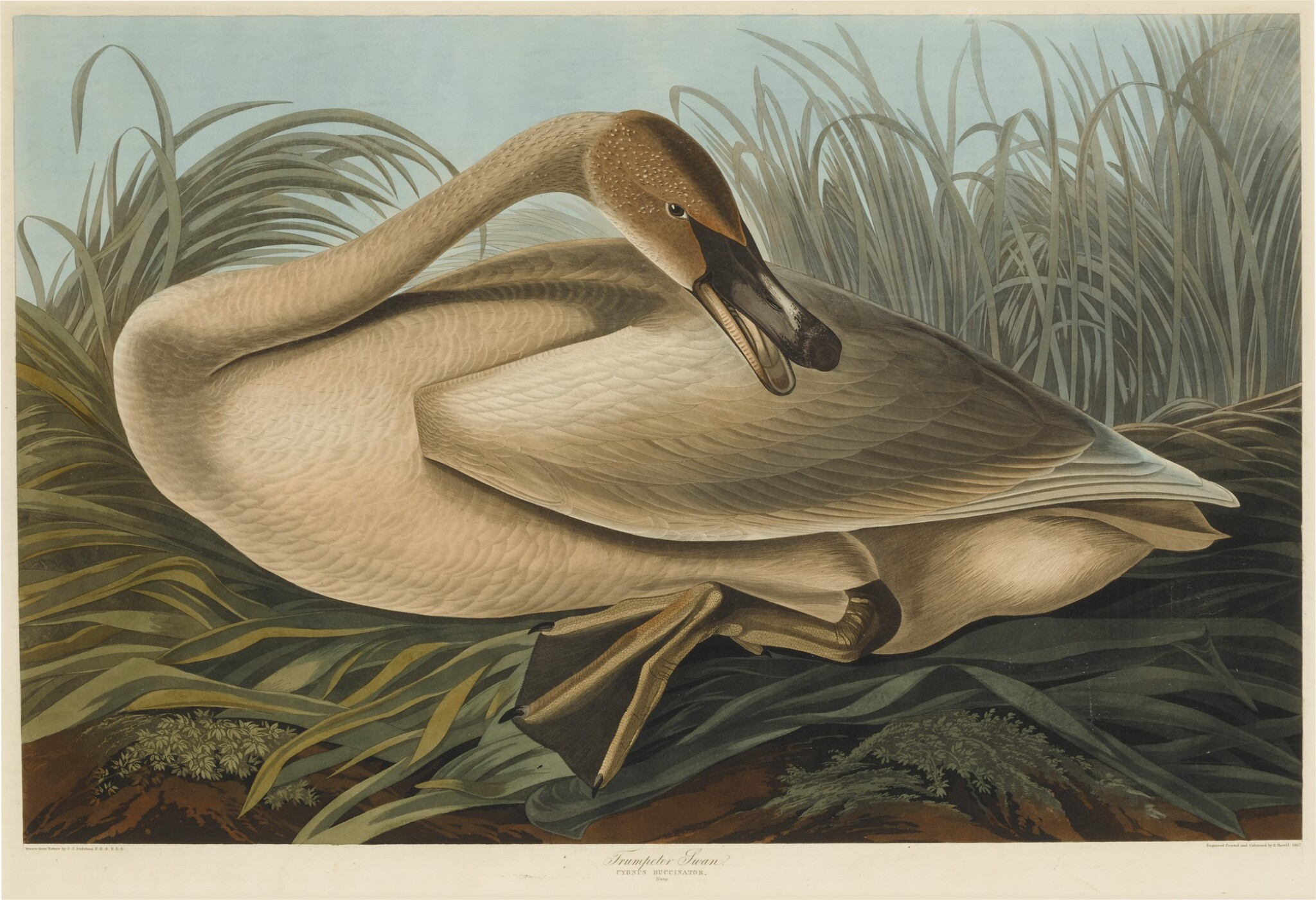 Trumpeter Swan, Young (Plate CCCLXXVI)