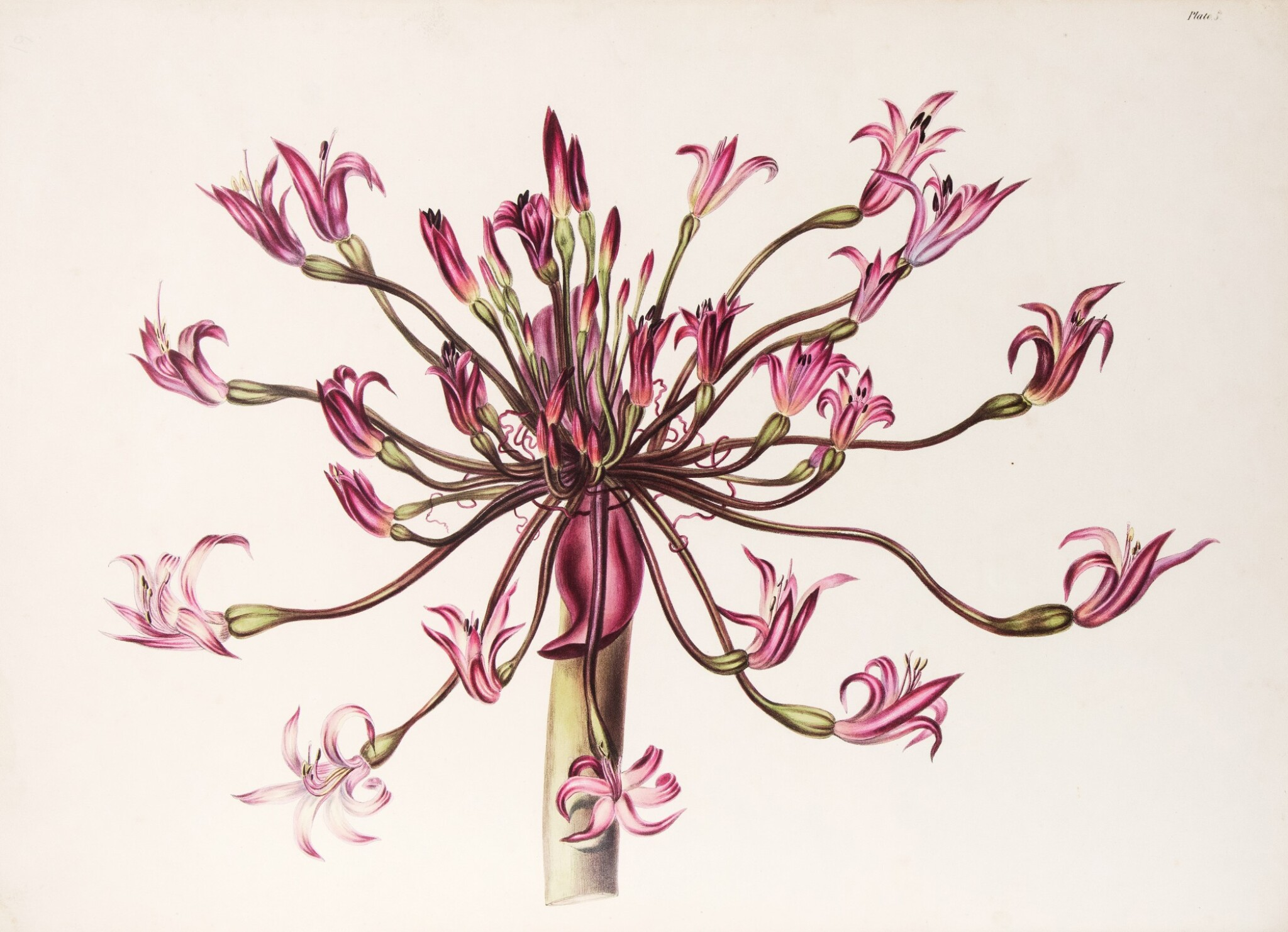 View full screen - View 1 of Lot 210. (Roupell, Arabella Elizabeth) | The exuberant flora of the Cape of Good Hope.