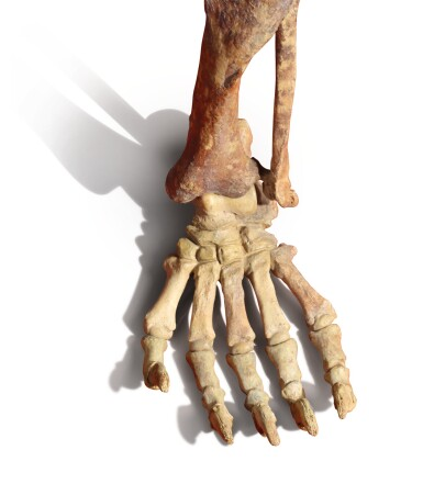 View 3. Thumbnail of Lot 84. A LARGE CAVE BEAR SKELETON.