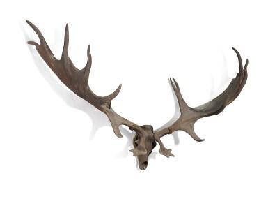 View 2. Thumbnail of Lot 1. A pair of fossilised 'Irish elk' antlers, Prehistoric.