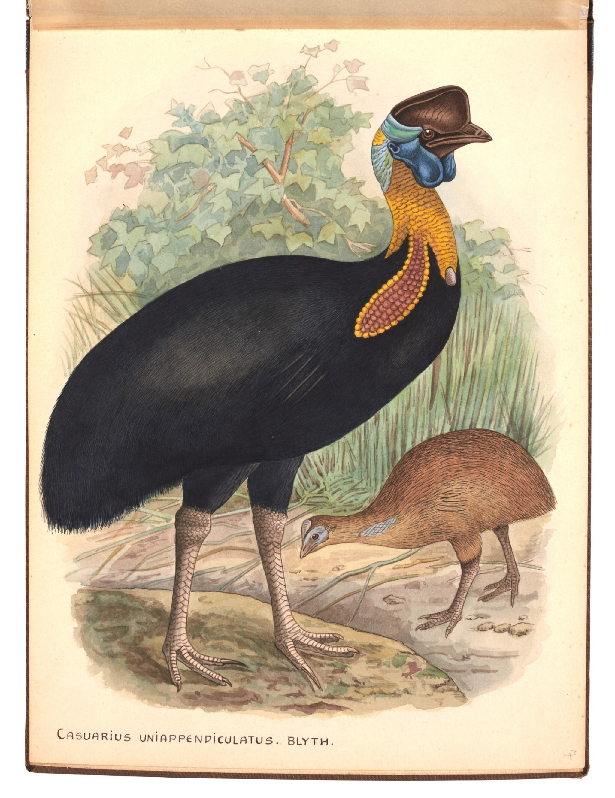 View full screen - View 1 of Lot 29. Lionel Rothschild and John Keulemans | Album of drawings of cassowaries, together with their printed book on the subject.