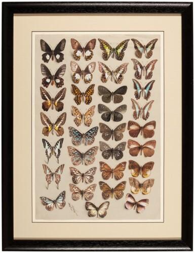 View 3. Thumbnail of Lot 11. Marian Ellis Rowan, 1848-1922 | Two Studies of Butterflies - New Guinea & Australia.