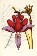 Jacquin   Plantarum rariorum Horti Caesarei Schönbrunnensis descriptiones et icones. 1797–1804, 4 volumes