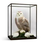 Rowland Ward, London, 1857-1975 | Snowy Owl
