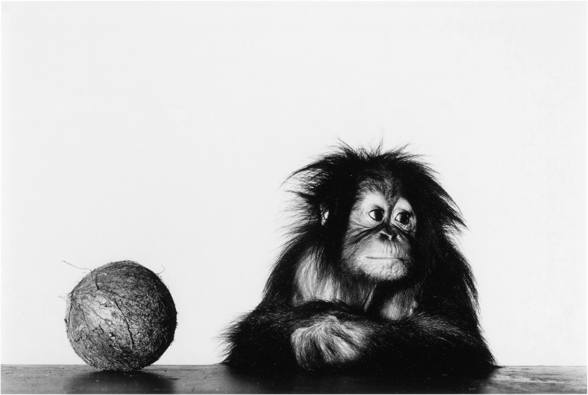 View full screen - View 1 of Lot 12. 'Young Orangutan and Coconut (New York, Oct 12, 2004)'.