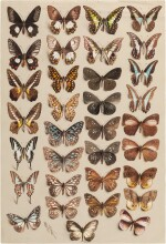 Marian Ellis Rowan, 1848-1922 | Two Studies of Butterflies - New Guinea & Australia