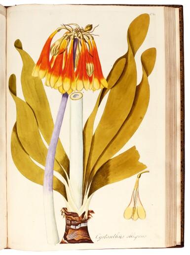 View 8. Thumbnail of Lot 21. Jacquin   Plantarum rariorum Horti Caesarei Schönbrunnensis descriptiones et icones. 1797–1804, 4 volumes.